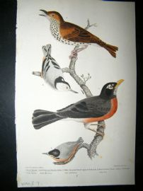 Alexander Wilson 1832 Hand Col Bird Print. Wood Thrush, Red Breasted Thrush or Robin